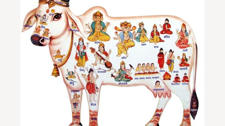 The cow named Kamdhenu