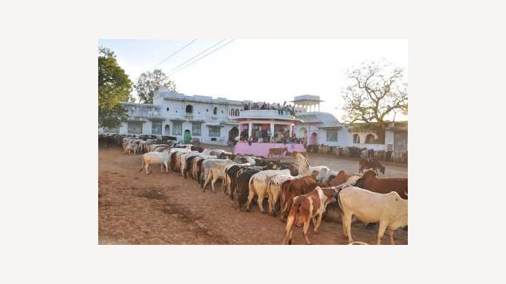 Temple Gaushala
